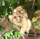 BRUSH TAIL POSSUM & BABY